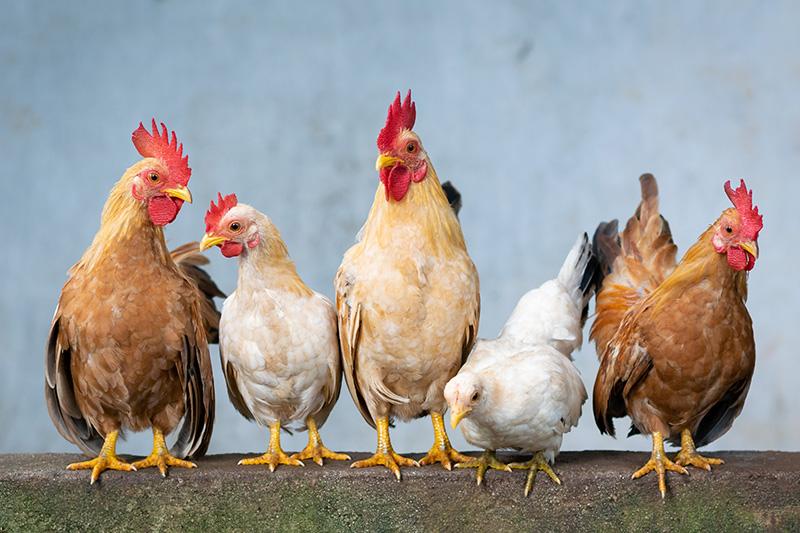 Hühner – Vögel, die nicht fliegen können