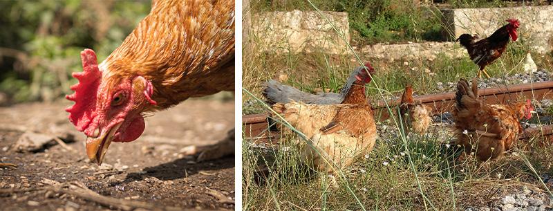 Hühner bei ihrer Lieblingsbeschäftigung