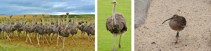 Strauß, Emu und Kiwi